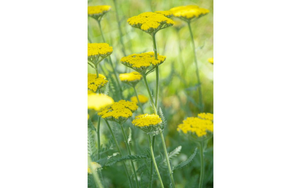 Duizendblad - Achillea filipendula 'Cloth of Gold'