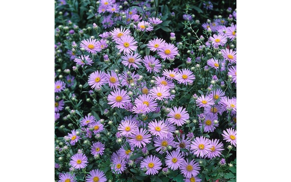 Aster - Aster amellus 'Blue King'