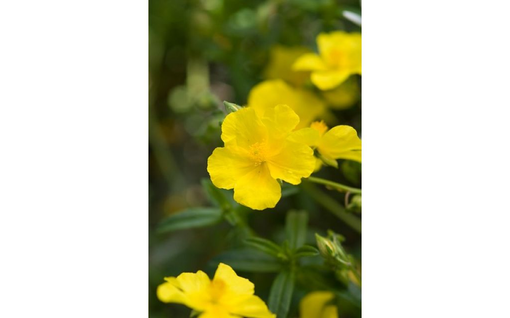 Zonneroosje - Helianthemum Golden Queen
