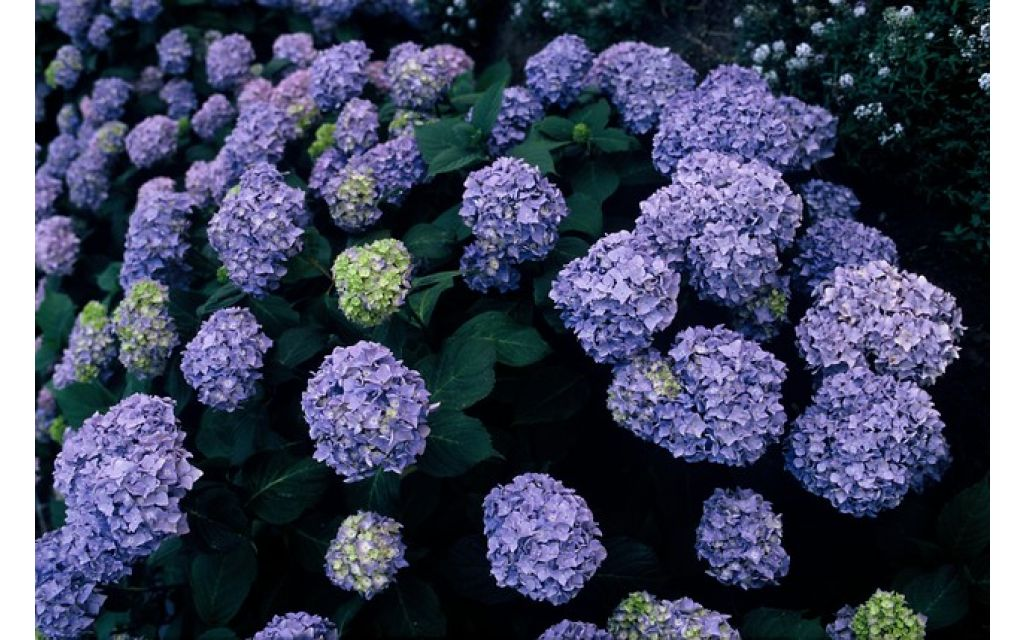 Hydrangea macrophylla Early Blue - Hortensia