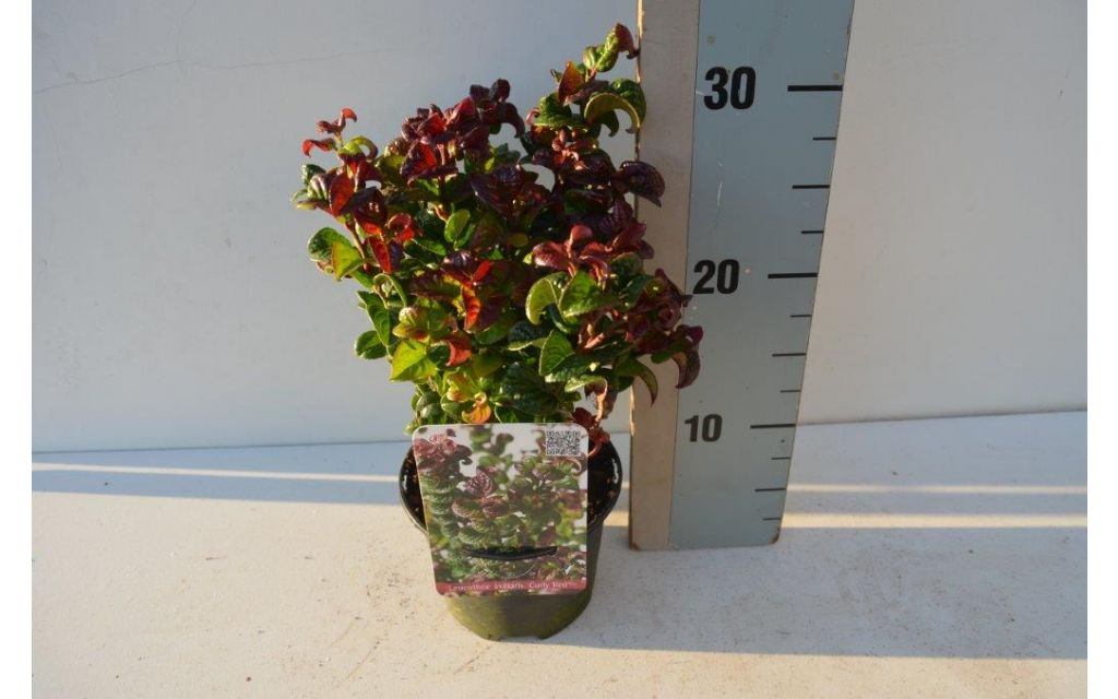 Druifheide - Leucothoe 'Curly Red'