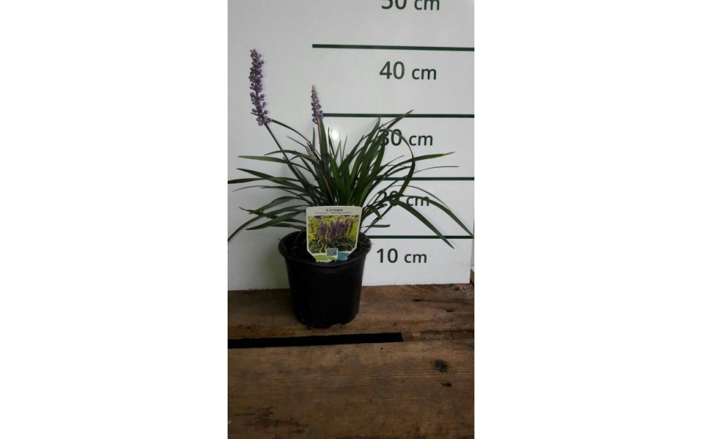 Leliegras - Liriope muscari 'Money Maker'