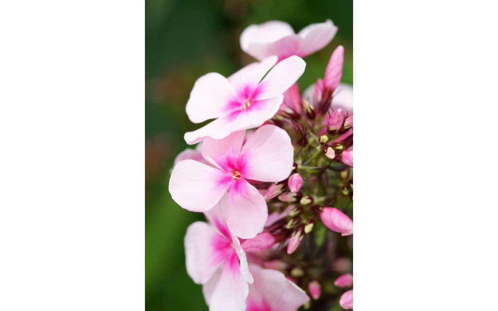 Vlambloem - Phlox subulata Purple Beauty