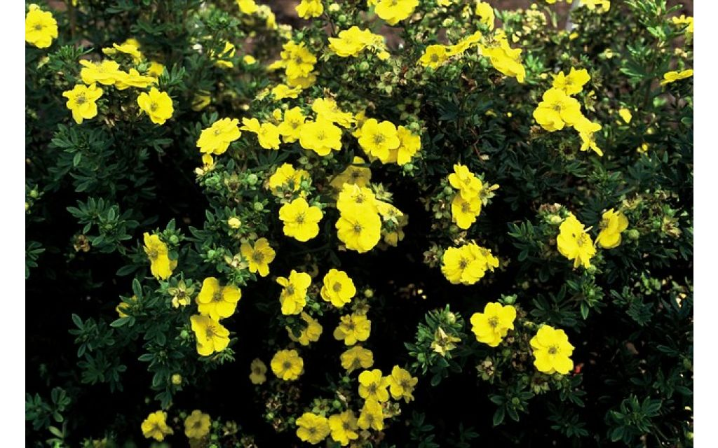 Ganzerik - Potentilla Yellow Queen
