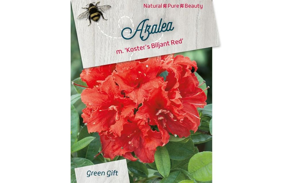 Azalea - Rhododendron 'Kost. Brilliant Red'