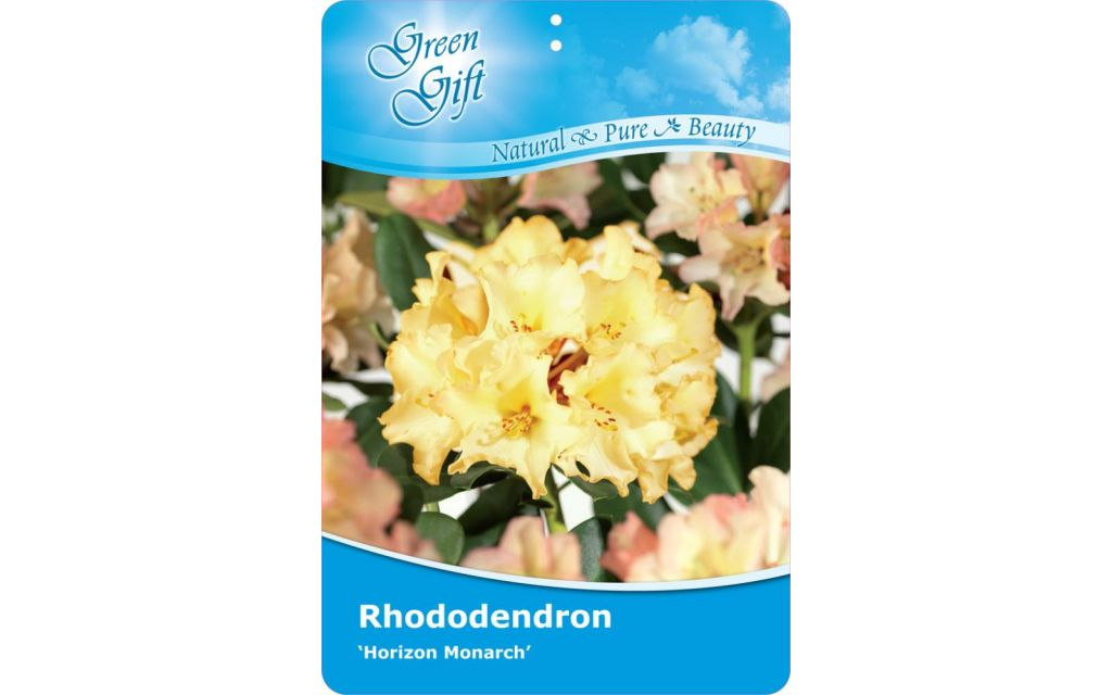 Rhododendron 'Horizon Monarch'