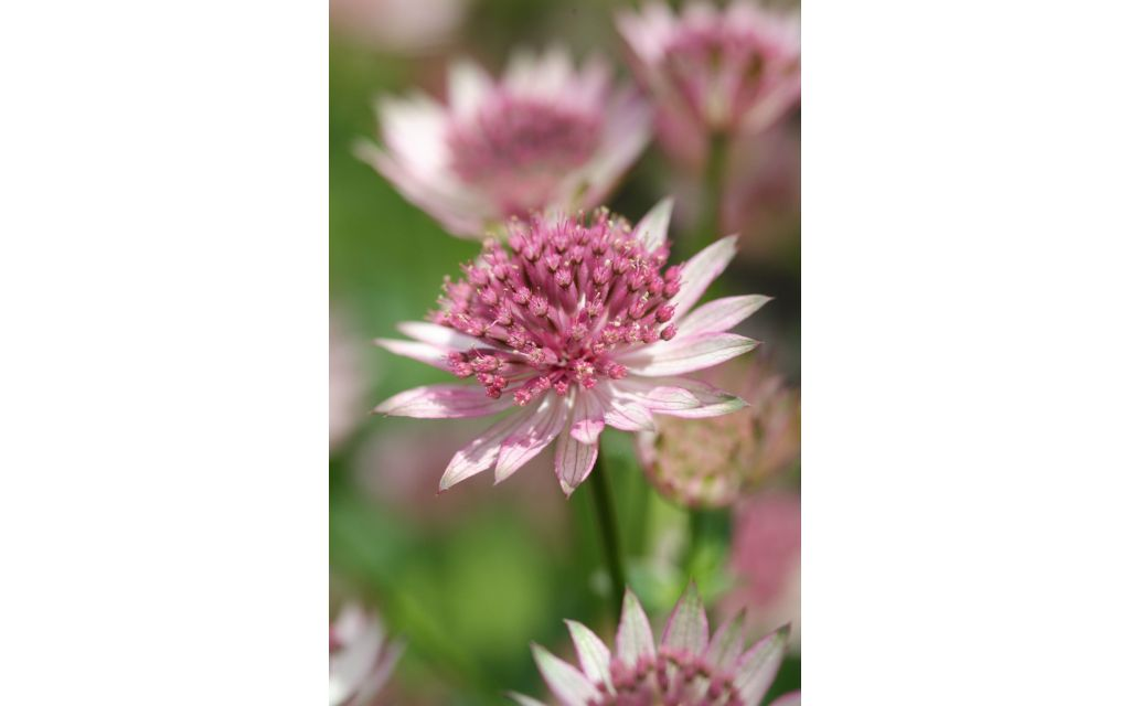 Zeeuws knoopje - Astrantia major Rubra