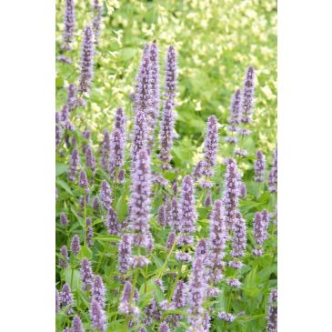 Dropplant - Agastache 'Purple Haze'