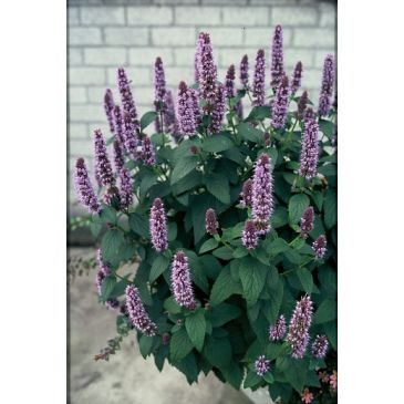 agastache after eight kwekerij online