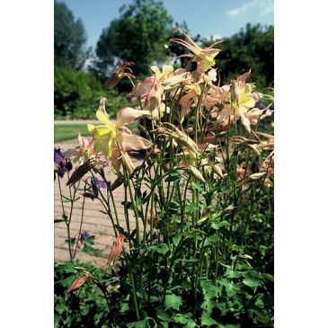 Akelei - Aquilegia yellow queen