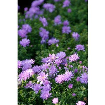 Herfstaster - Aster Lady in Blue