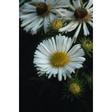 Aster - Aster novae-angliae Herbstschnee