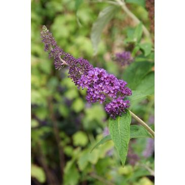 Vlinderstruik - Buddleja davidii Empire blue
