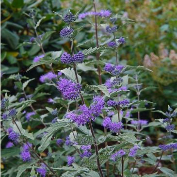 Caryopteris cland. Heavenly bleu
