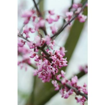 Judasboom - Cercis canadensis Forest Pansy