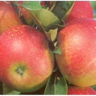 Appelboom - Malus d Discovery