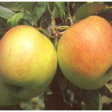 Appelboom - Malus d James Grieve