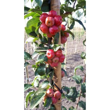 Sierappel - Malus Red Sentinel
