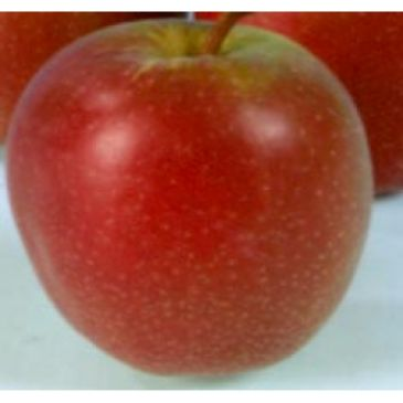 Appelboom - Malus d Summerred