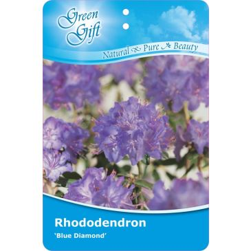 Dwergrhododendron - Rhododendron 'Blue Diamond'