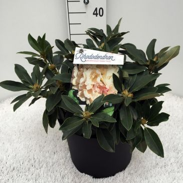 Rhododendron (y) 'Golden Torch'