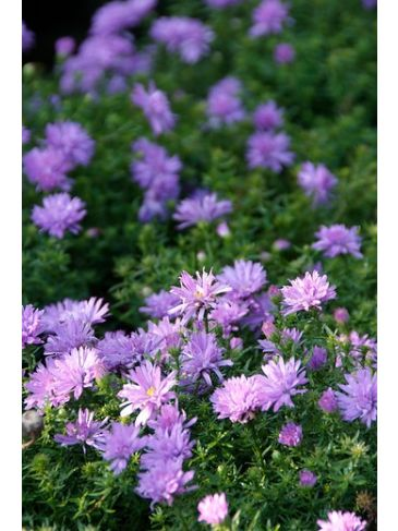 Herfstaster - Aster 'Lady in Blue'