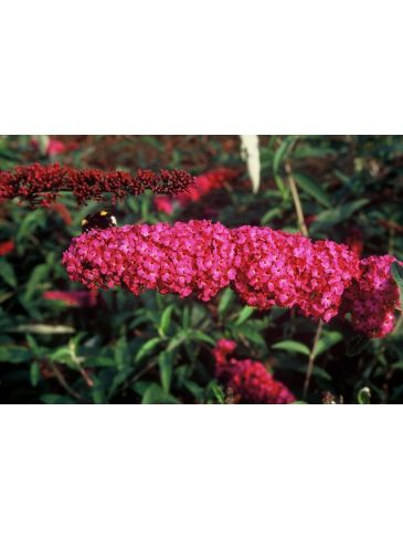 Vlinderstruik - Buddleja davidii Royal red