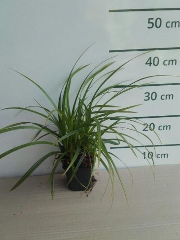 Zegge - Carex foliosissima Irish Green