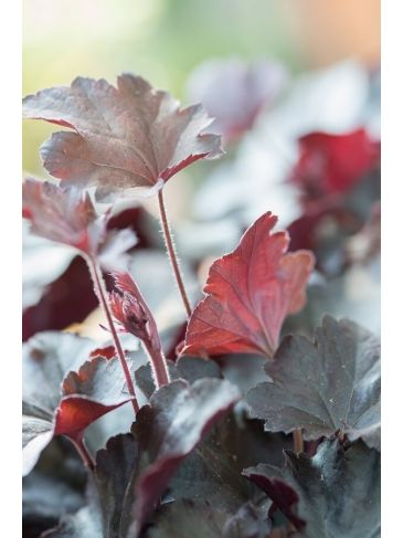 Purperklokje - Heuchera 'Can Can'