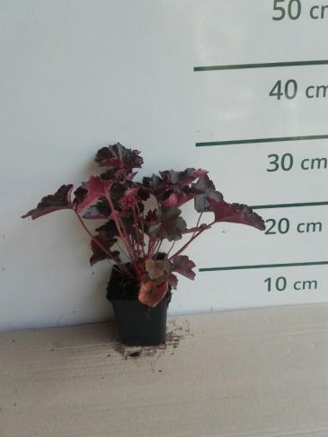 Purperklokje - Heuchera mic. 'Palace Purple'