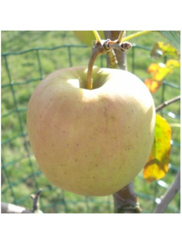 Appelboom - Malus d. Golden delicious