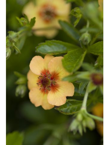 Ganzerik - Potentilla fruticosa Hopley's Orange