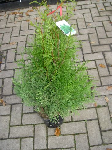 Conifeer - Thuja occ. 'Brabant' - Westerse levensboom